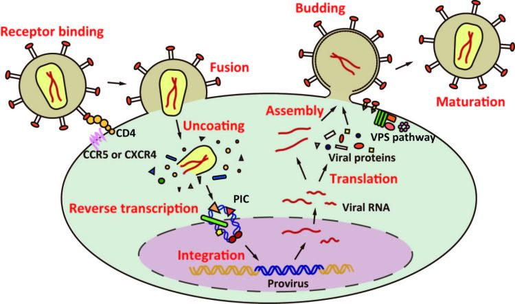 HIV Lifecycle