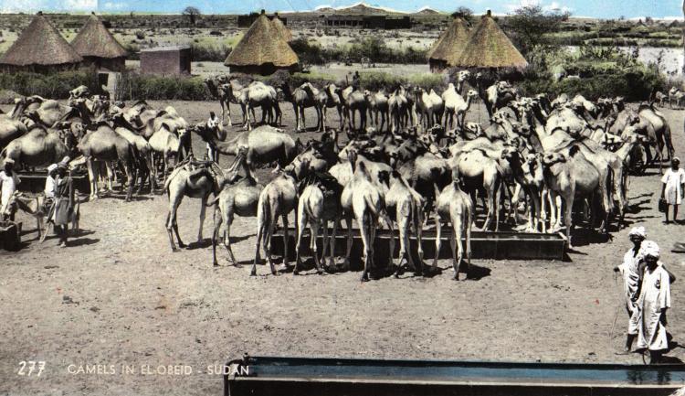 sudancamels