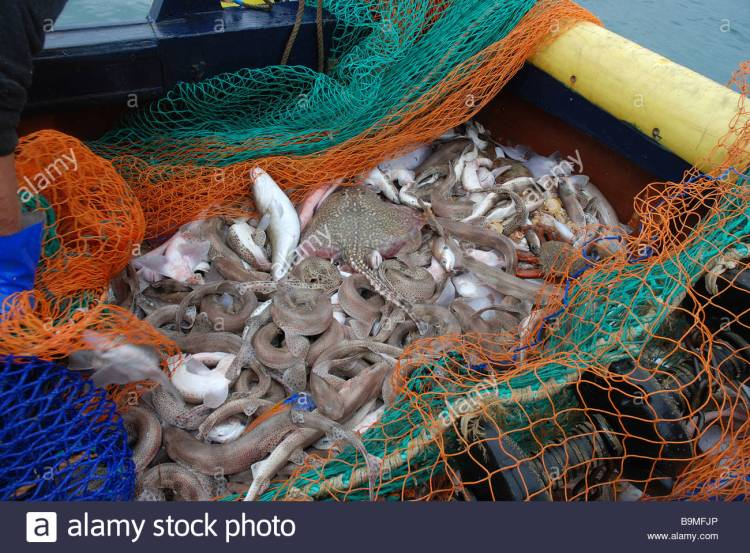 mixed-species-fish-catch-in-trawl-net-cod-end-emptied-onto-the-deck-B9MFJP